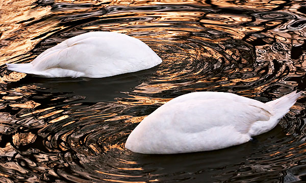 two circling swans in the River Cam at Cambridge University in England
