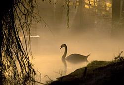 лебедь на реке в тумане