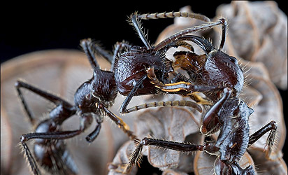 макроснимок муравьёв с ничтожной глубиной резкости