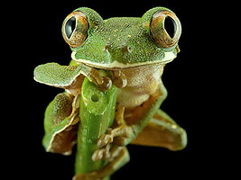 macro photo with a black background - tree frog
