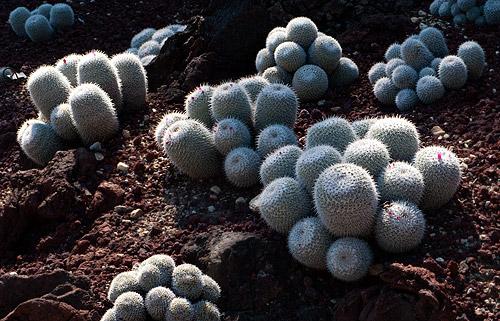Sharp Cacti